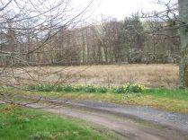 Daffodils down drive - 17042015