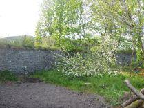 Apple blossom - 23052015
