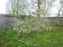 Apple blossom in SWG - 17052015