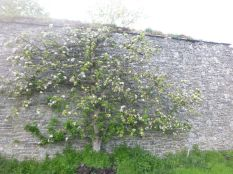 Apple blossom on back wall 2 - 17052015