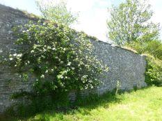 Apple tree along wall - 30052015