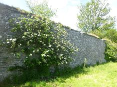 Apple tree along wall - 30052015