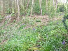 Bluebells in the woods - 17052015