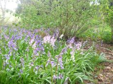 Bluebells in the woods 3 - 17052015