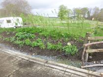 Hedge bank - weeded - 10052015