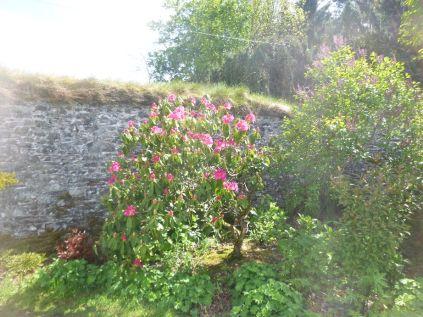 Pink rhods - 30052015