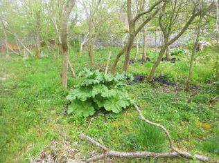 Rhubarb - 17052015