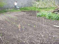 Veg patch in SWG - 17052015