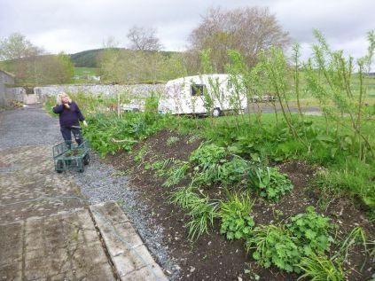 Weeding the hedge bank - 10052015