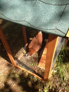 Hens have arrived - 11062015 - TC
