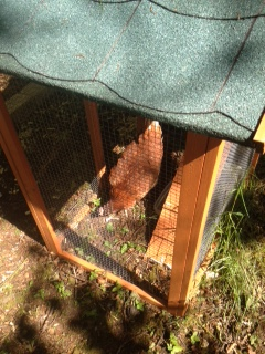 Hens have arrived - 11062015 - TC