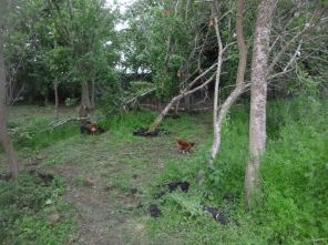 Manure in SWG + chickens - 27062015