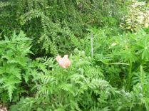 Poppy - 07062015