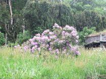 Purple Rhod - 20062015