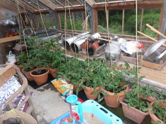 Tomatoes - 27062015