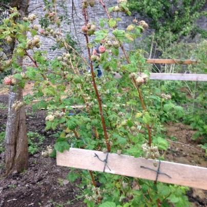 Raspberries - July 2015 - SH