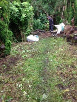 Yew avenue clearing 3 - July 2015 - SH