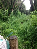 Yew avenue clearing 4 - July 2015 - SH