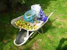 Apple crop - 1 day windfall - 30082015