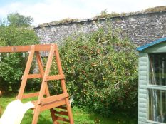 Apple tree by swing - 30082015