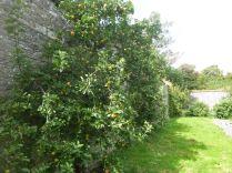Apple trees - 30082015