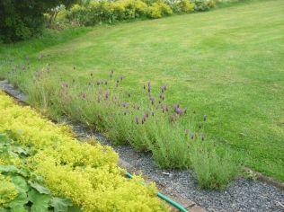 Lavender - 13082015