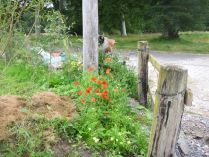 Poppies in hedge - 22082015