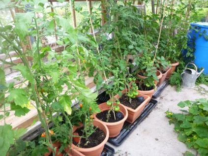 Tomatos - 29082015