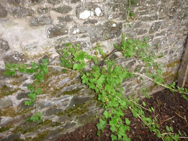 gooseberry bush - 17092015