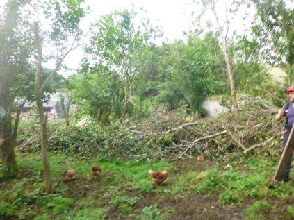 pruned plum trees 2 - 17092015