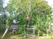 Pruning plum trees - 05092015