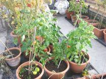 Tomatoes - 25102015