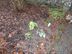 New plants in border - 24012016