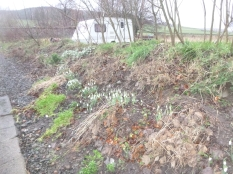 Snow drops in hedge - 05022016