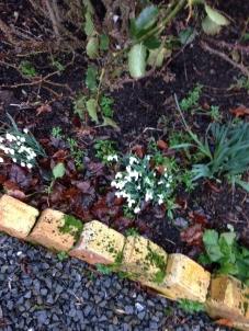 Snowdrops in rose garden 2 - 11022016 - SH