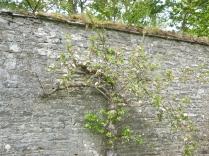 Apple blossom - 17052016