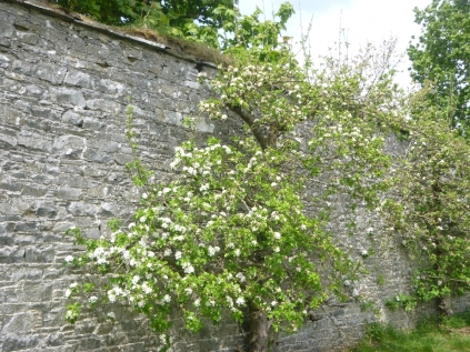 Apple blossom 2 - 17052016