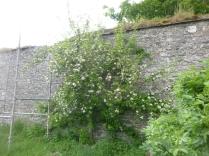 Apple blossom - 29052016
