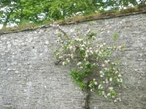 Apple blossom 3 - 29052016