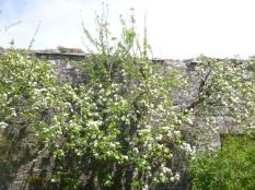 Apple blossom in flower garden - 17052016