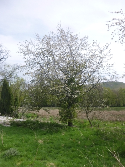 Blossom on tree at front - 17052016