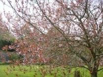 Cherry blossom - 17052016