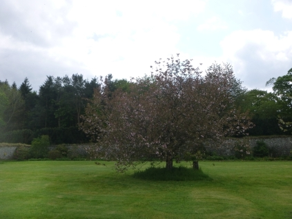 Cherry blossom in lawn - 29052016