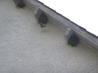 House martin nests - 17052016