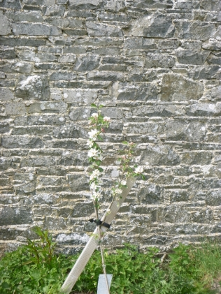 New apple blossom - 17052016