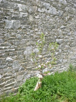 New apple blossom 2 - 17052016
