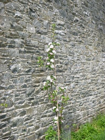 New apple blossom 3 - 17052016