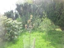 New rowan tree - 17052016