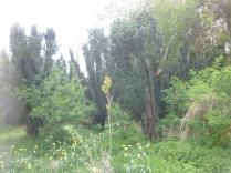 New rowan tree 2 - 17052016