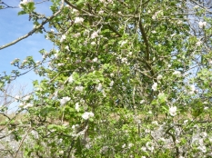 plum blossom - SWG - 15052016